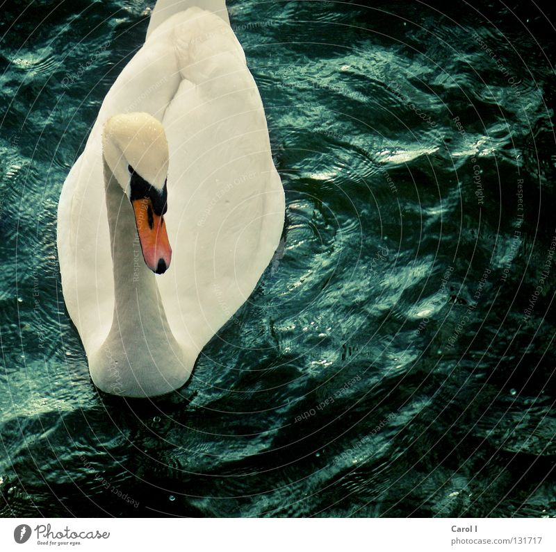 Water Beautiful White Green Blue Animal Life Dark Lake Bird Waves Wind Elegant Drops of water Railroad