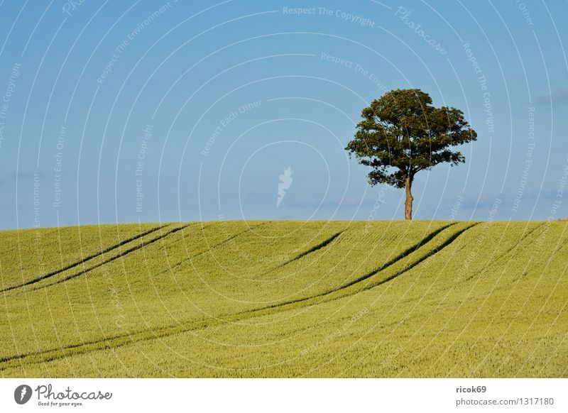 tree Grain Agriculture Forestry Nature Landscape Plant Tree Field Blue Green Sky Grain field Mecklenburg-Western Pomerania unattached Individual Deciduous tree