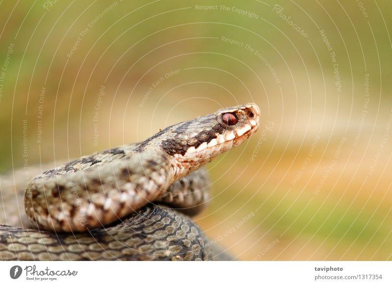 closeup of a beautiful vipera berus Beautiful Woman Adults Nature Animal Wild animal Snake Natural Brown Gray Caution Fear Dangerous Viper adder common European