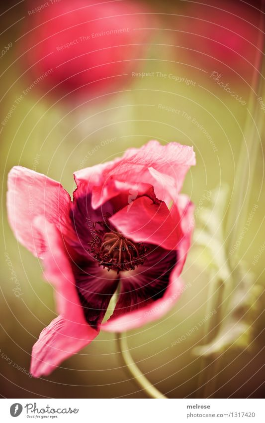 again and again MOHN Food Poppy Elegant Style Nature Plant Summer Beautiful weather Flower Blossom Wild plant Corn poppy Poppy blossom Flower stem Field
