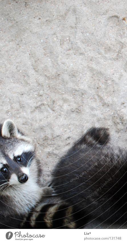 White Black Gray Sand Brown Nose Sweet Cool (slang) Ear Observe Pelt Zoo Curiosity Under Cute Odor