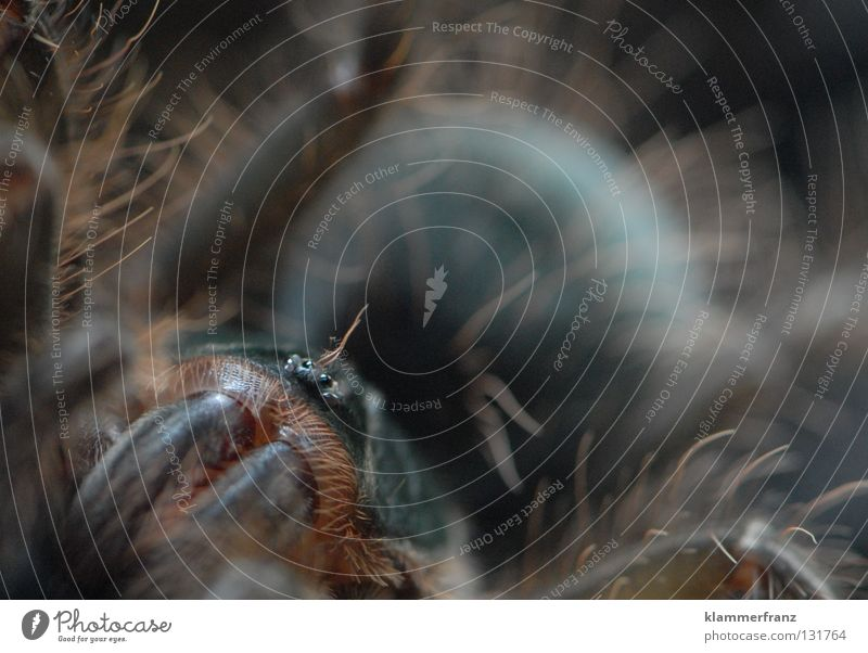 Round and Gsund Monster theraphosa Bird-eating spider Macro (Extreme close-up) giant bird-eating spider Detail Section of image