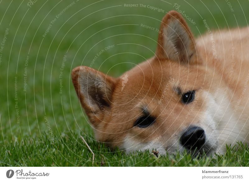 Calm Animal Relaxation Grass Hair and hairstyles Dog Growth Break Lawn Ear Point Pelt Cap Facial hair Japan Blade of grass