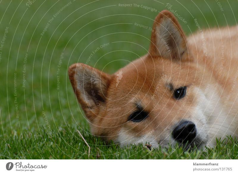 Calm Animal Relaxation Grass Hair and hairstyles Dog Growth Break Lawn Ear Point Pelt Cap Facial hair Japan Blade of grass