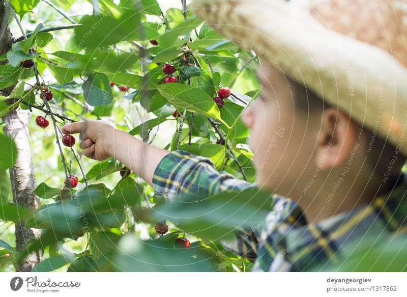 Child harvesting Morello Cherries Fruit Eating Joy Summer Garden Gardening Girl Family & Relations Infancy Hand Nature Tree Fresh Small Delicious Cute Juicy