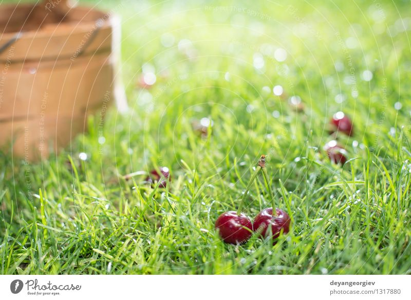 Morello Cherries in basket on green meadow Fruit Beautiful Summer Garden Gardening Nature Tree Grass Leaf Meadow Fresh Natural Juicy Green Red Basket Cherry