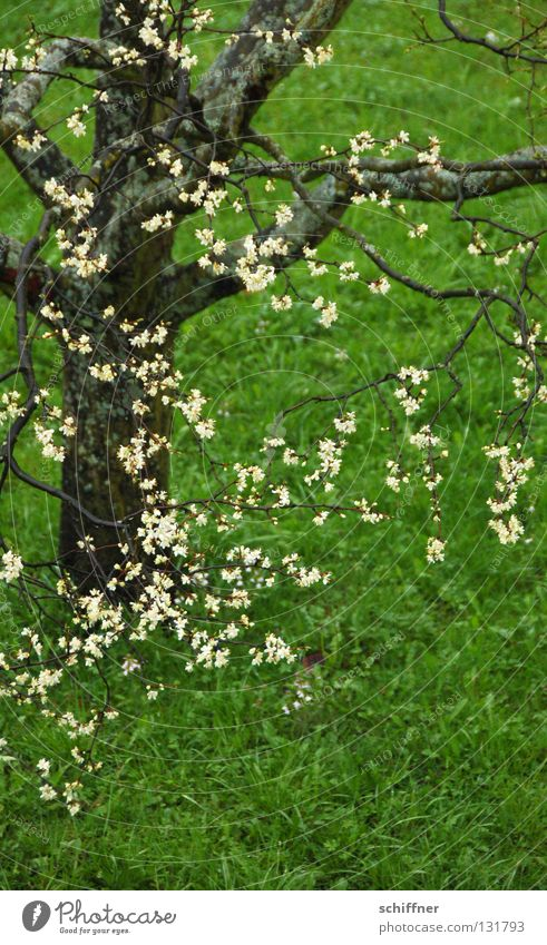Tree Green Meadow Blossom Grass Spring Rain Lawn Branch Blossoming Blade of grass Tree trunk Twig