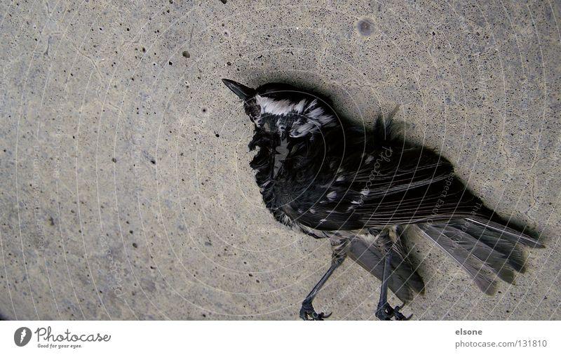 Animal Death Dance Bird Walking Concrete Grief Feather Lie Distress Moral Philosophy Migratory bird