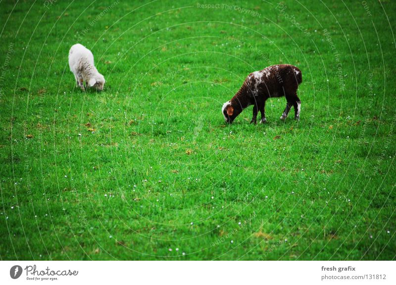 the grazing of the lambs Lamb Animal Sheep Meadow To feed Green Spring Wool Farm animal Mammal Life Nature Nutrition
