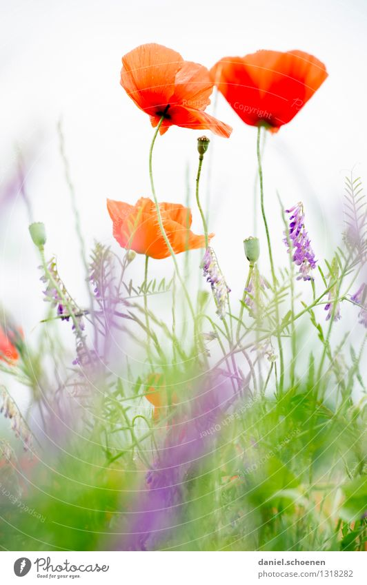 I also have a poppy day picture Nature Plant Summer Flower Grass Meadow Bright Green Red White Colour photo Exterior shot Detail Deserted Light High-key