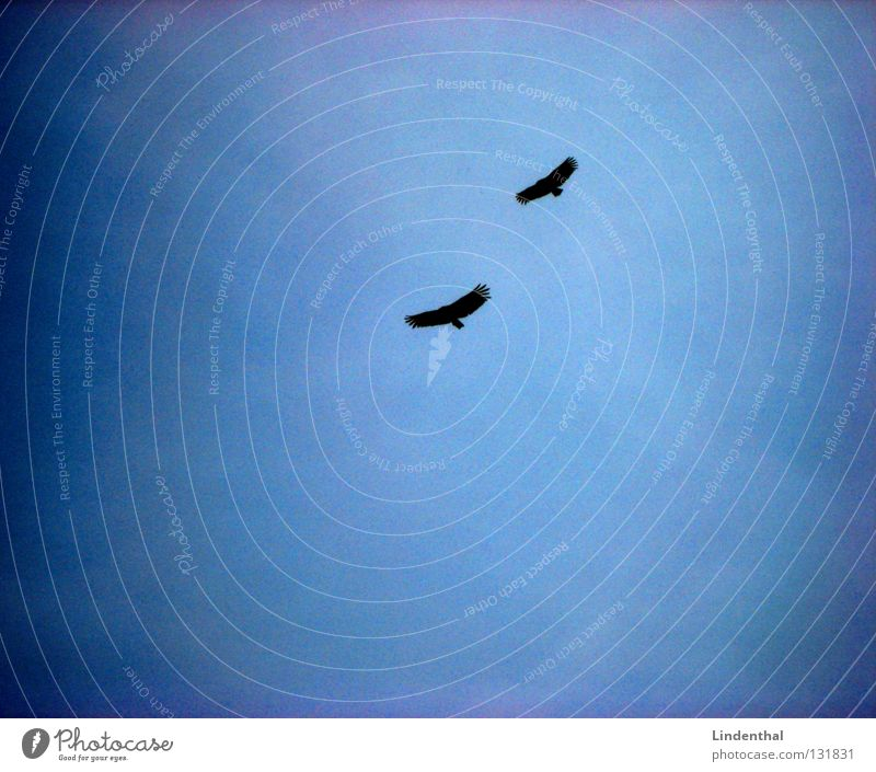 white-tailed eagle Eagle Bird Bird of prey 2 In pairs Pair of animals Floating Flying Flight of the birds Air Isolated Image Silhouette Bright background