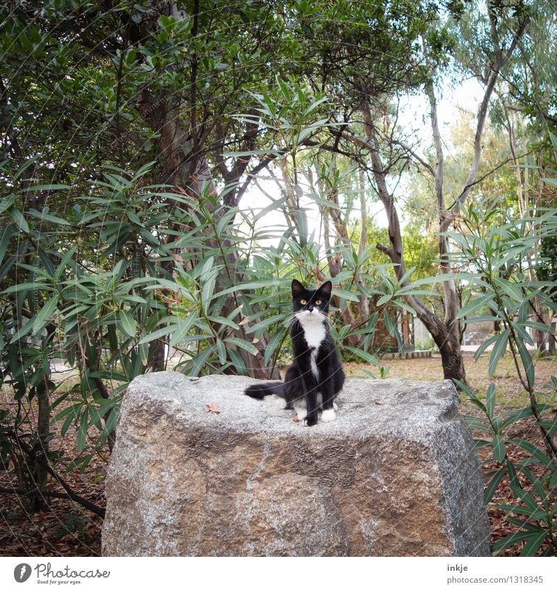 Corsican Cat Environment Nature Summer Beautiful weather Plant Wild plant Exotic Oleander Garden Park Forest Rock Animal Pet Wild animal 1 Stone Crouch Looking