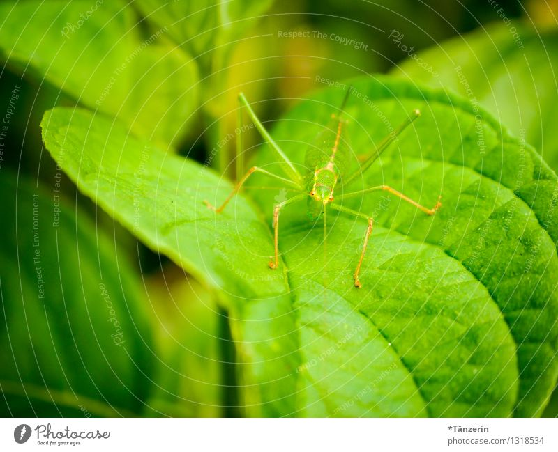 perfectly camouflaged Nature Animal Summer Leaf Wild animal Locust 1 Green Colour photo Exterior shot Close-up Deserted Day Shallow depth of field