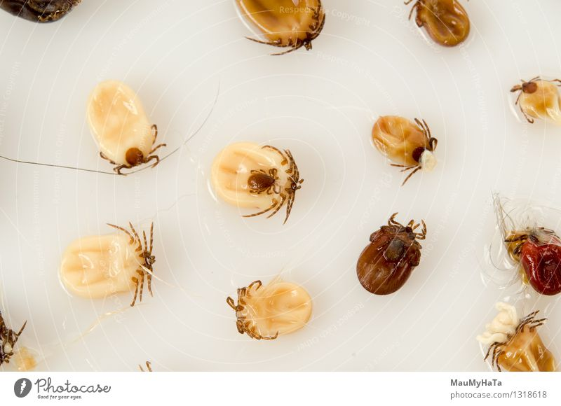 white background Ticks Black White vector isolated anaplasmosis lyme blacklegged scapularis Pests walking babesiosis ehrlichiosis disease Insect of ixodes