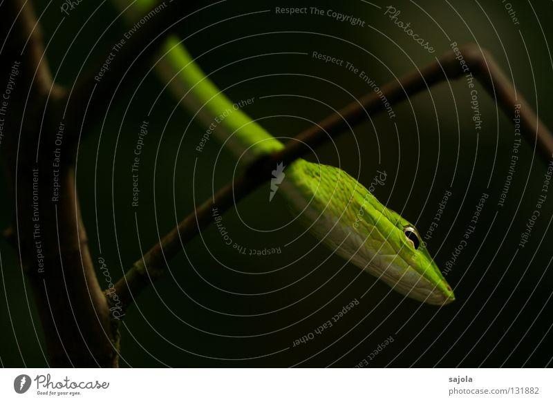 Green Tree Animal Eyes Head Branch Long Asia Thin Barn Poison Snake Reptiles Singapore Bend Slit