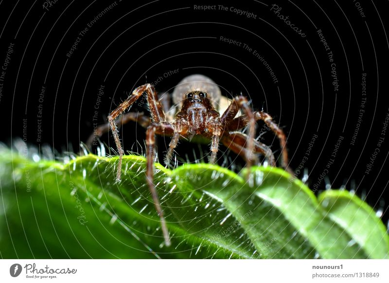 spider macro Animal Leaf Spider 1 Creepy arachnophobia Observe eight-legged Close-up Spider's web Spider legs Araneae pilous Prey Colour photo Exterior shot
