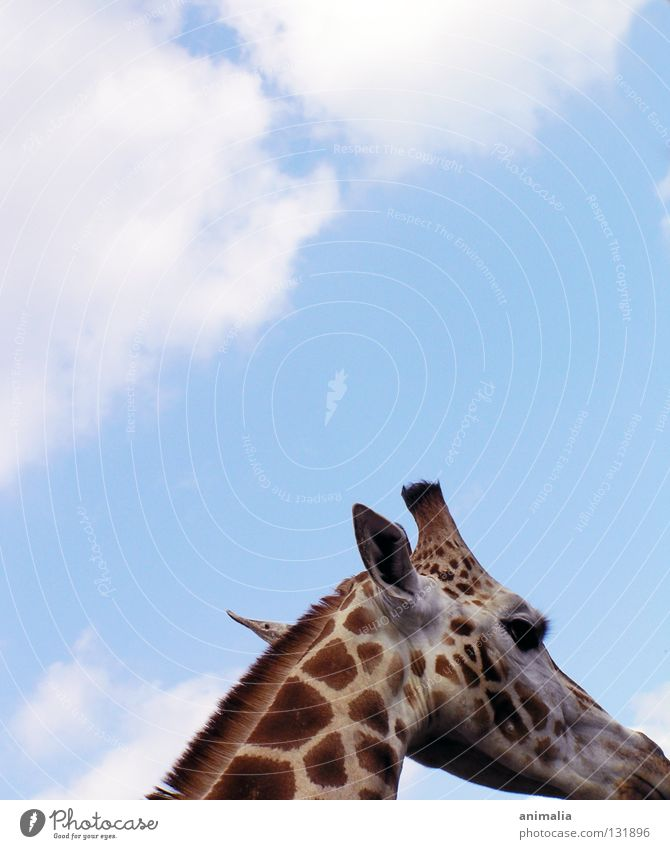 Sky Clouds Animal Tall Africa Zoo Enclosure Bull Giraffe