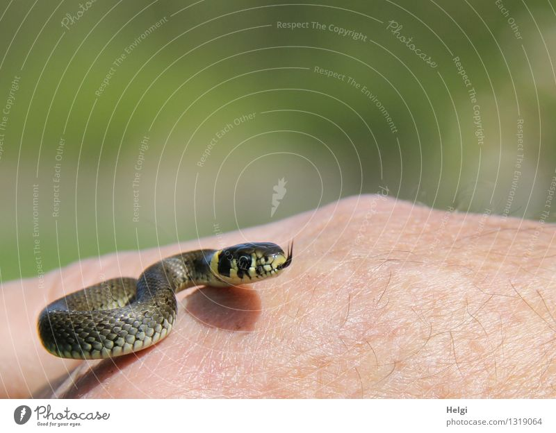 Miniature grass snake... Human being Hand Environment Nature Animal Wild animal Snake Ring-snake 1 Baby animal Movement Looking Esthetic Exceptional Uniqueness