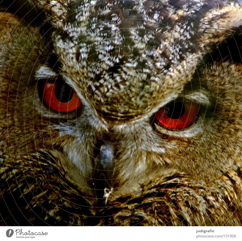 Nature Beautiful Red Eyes Animal Colour Life Bird Environment Feather Beak Smart Pride Wisdom Owl birds Bird of prey