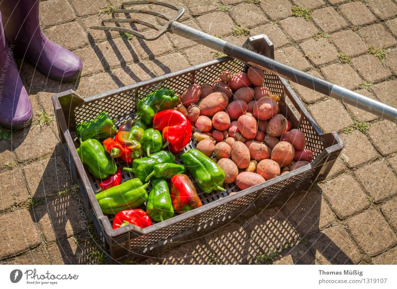 harvest time Vegetable Fruit Summer Garden Gardening Fresh Healthy Green Red Harvest digging fork Potatoes Garden plot Pepper Chili Colour photo Exterior shot