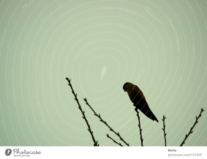 Falcon Spring II Environment Nature Animal Tree Treetop Twigs and branches Bird Kestrel 1 Crouch Sit Dark Tall Natural Point Gray Dreary Colour photo