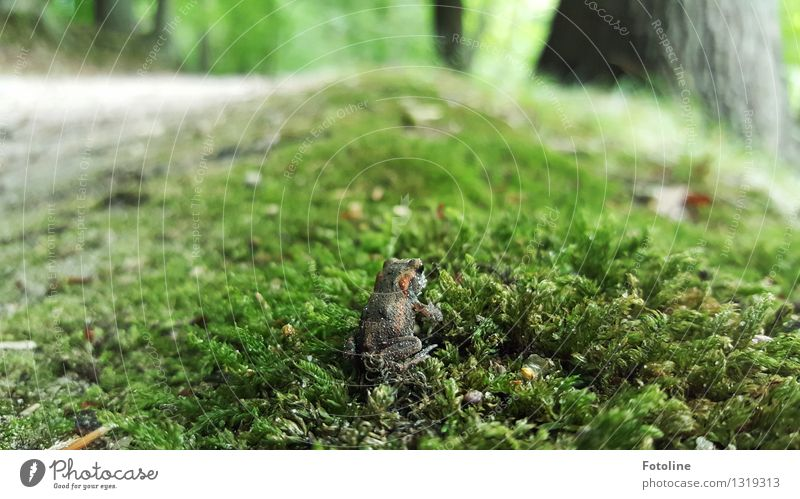 Camouflage: excellent! Environment Nature Plant Animal Elements Earth Autumn Moss Forest Frog 1 Small Near Natural Sit Painted frog Common toad Green