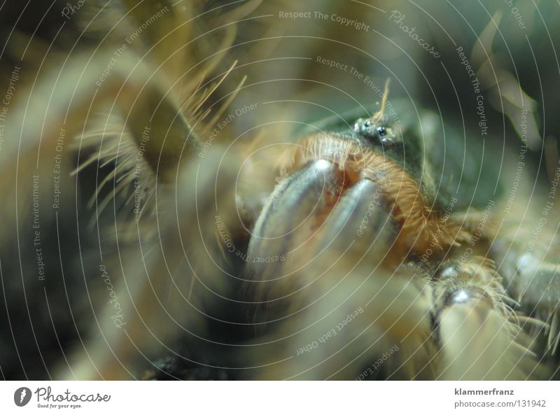 Spider Section of image Monster Bird-eating spider