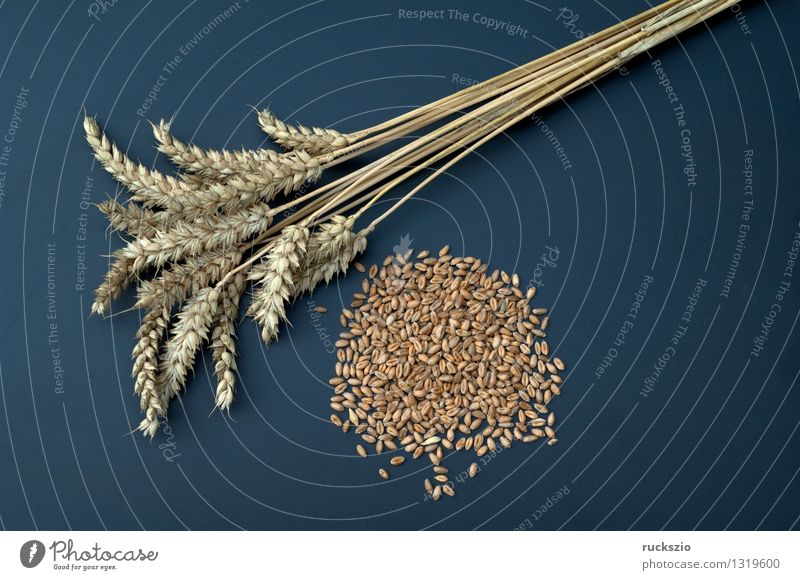 wheat ears Grain Medication Nature Plant Field Free Brown Black Wheat ear Wheat grain triticum aestivum grain grains cereal grain type of grain Ear of corn