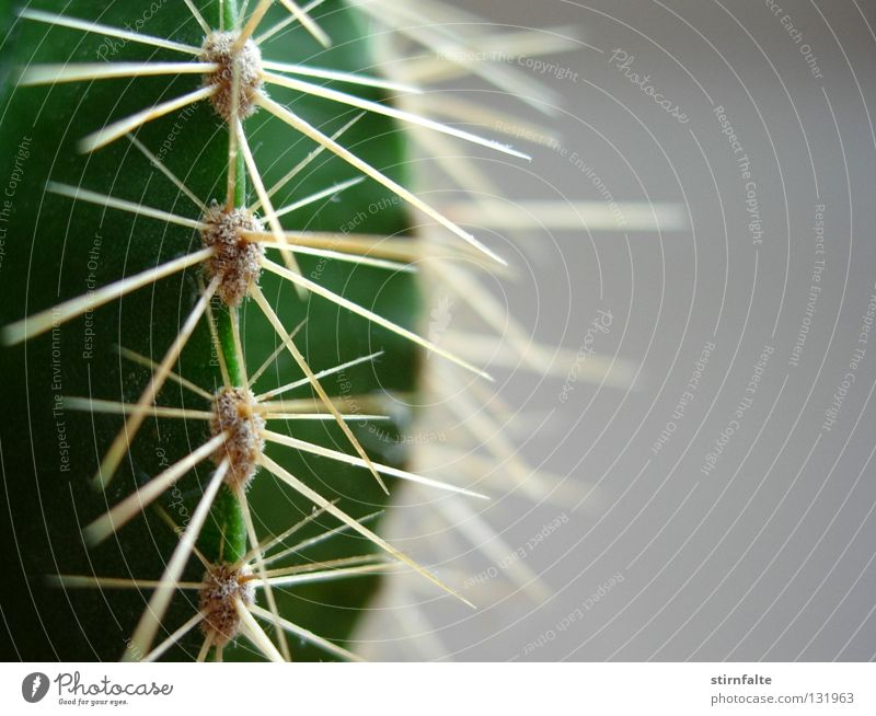 Nature Green Plant Gray Dangerous Near Threat Desert Point Pain Botany Half Cactus Thorn Thorny