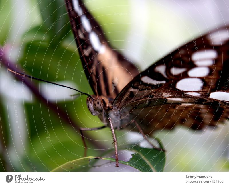 butterly Singapore Macro (Extreme close-up) Close-up eyes tripical wings brown antena insect Butterfly