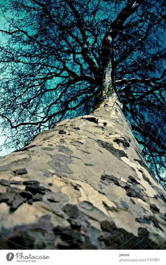 Nature Sky Tree Large Tall Perspective Might Branch Tree trunk Treetop Environmental protection Bleak Tree bark Branchage Camouflage Deciduous tree