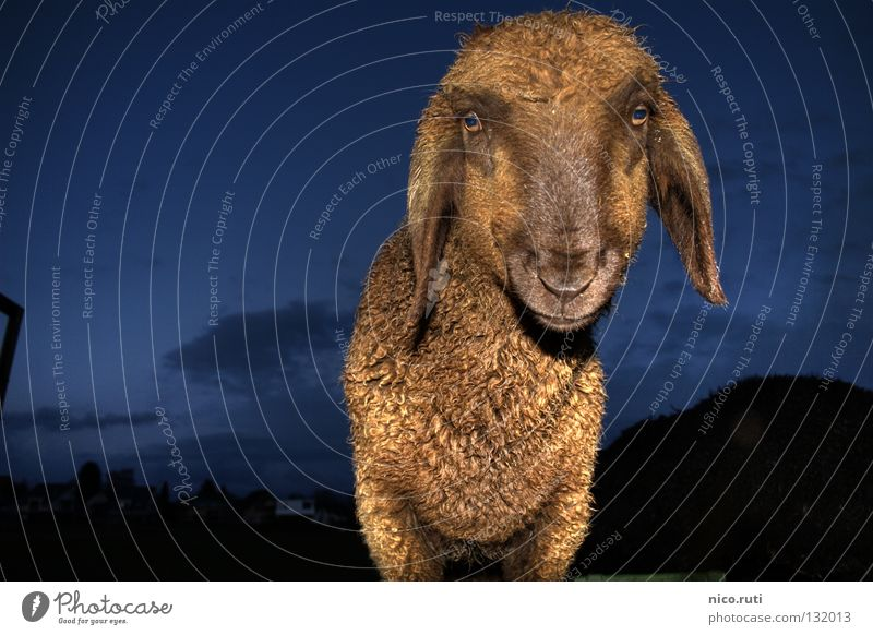 nocturnal active Sheep Soft Baaa Pelt Night Dark Flash photo Curiosity HDR Mammal Interest lamp ears Dynamic compression Eyes