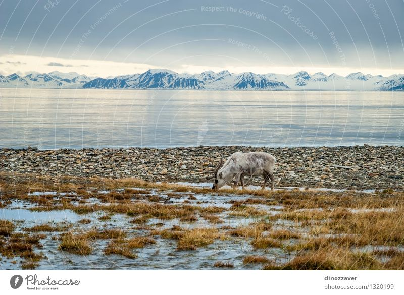 Reindeer in arctic Nature Man Summer White Ocean Landscape Animal Forest Mountain Adults Grass Natural Snow Eating Brown Wild