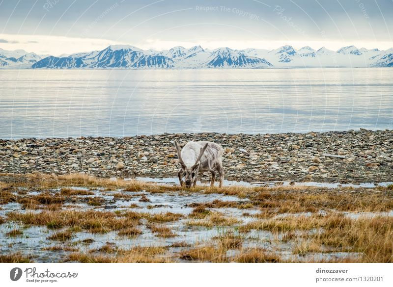 Reindeer in arctic Eating Summer Ocean Snow Mountain Man Adults Nature Landscape Animal Grass Forest Fur coat Wet Natural Wild Brown White The Arctic