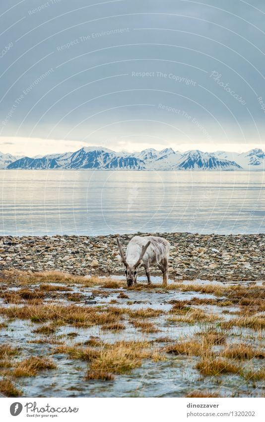 Rendeer in arctic Eating Summer Ocean Snow Mountain Man Adults Nature Landscape Animal Grass Forest Fur coat Wet Natural Wild Brown White Reindeer The Arctic