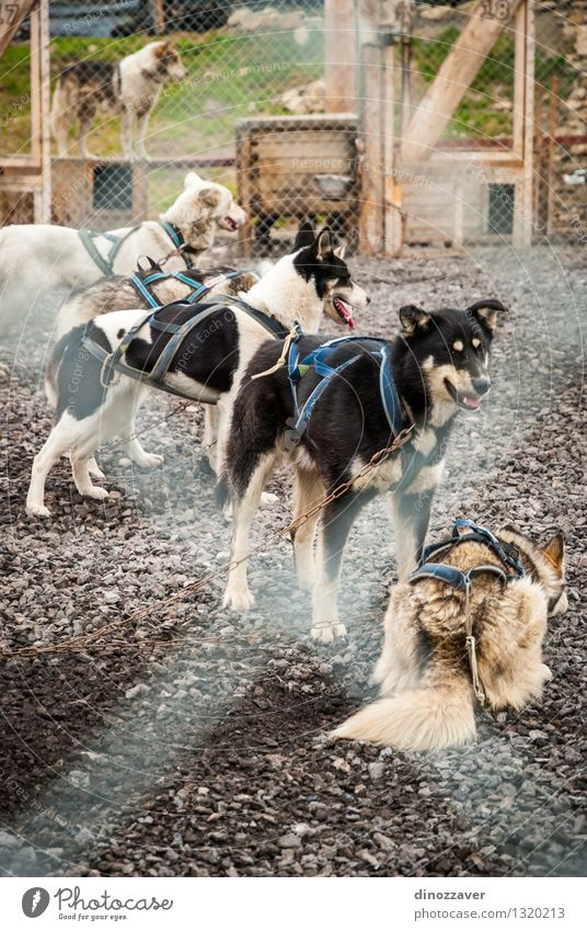 Sledding dogs Beautiful Work and employment Nature Animal Hut Pet Dog Wild Spitzbergen The Arctic Cage Norway Action Shelter Husky kennel doghouse harness colar