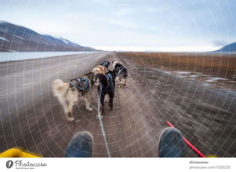 Dog Sledding Beautiful Adventure Winter Sports Work and employment Rope Nature Landscape Animal Fur coat Pet Speed Wild White Competition Teamwork Spitzbergen