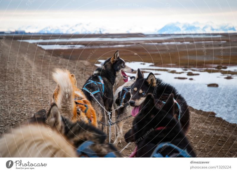 Sledding dogs Beautiful Adventure Winter Sports Work and employment Rope Nature Landscape Animal Fur coat Pet Dog Speed Wild White Competition Teamwork