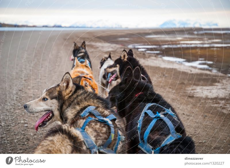 Sledding dogs Dog Nature Beautiful White Landscape Animal Winter Cold Sports Work and employment Wild Action Speed Group of animals Adventure Rope