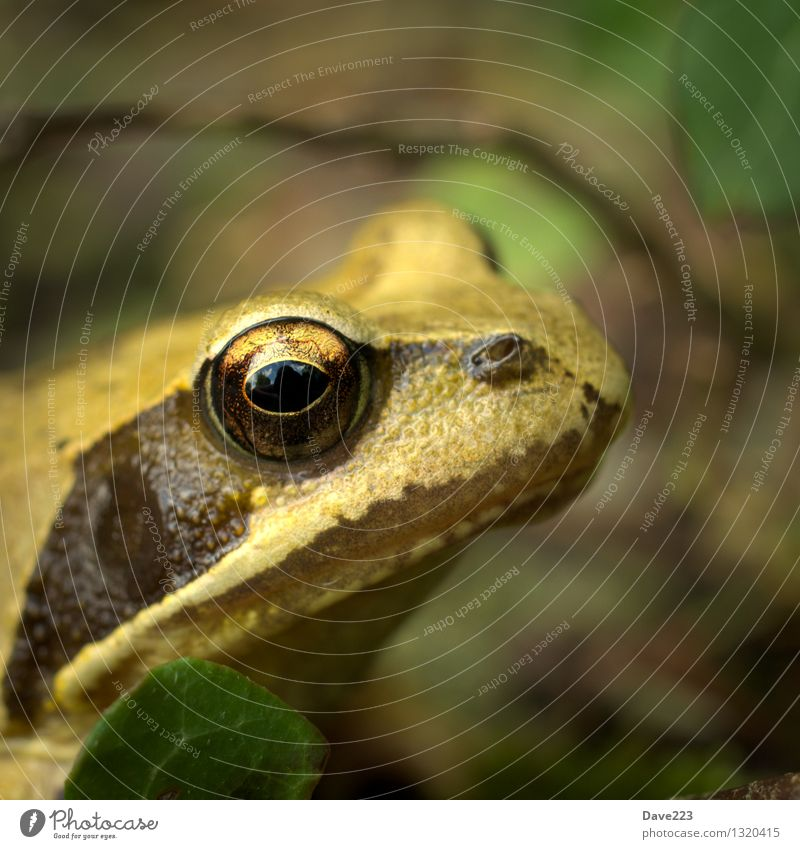 Animal Black Yellow Eyes Lake Brown Sit Observe Break Curiosity Watchfulness Kissing Pond Frog Marsh Bog