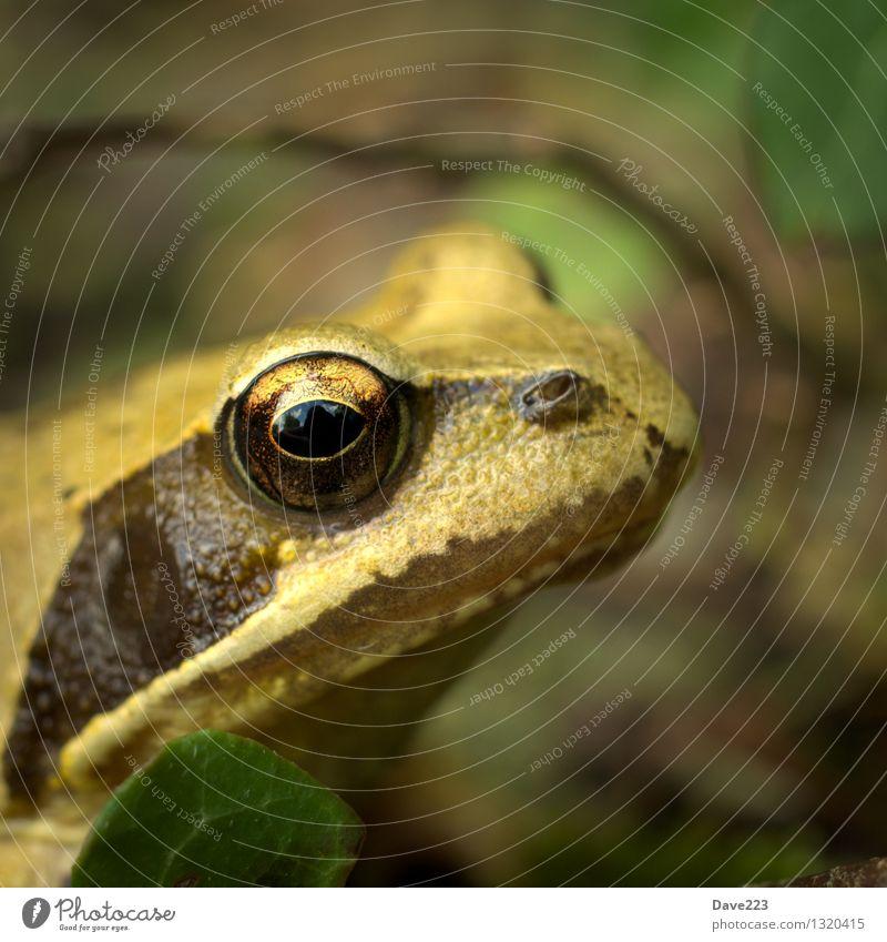 princess look Animal Bog Marsh Pond Lake Frog 1 Frog Prince Princess Kissing Watchfulness Eyes Rutting season Observe Sit Curiosity Slimy Brown Yellow Black