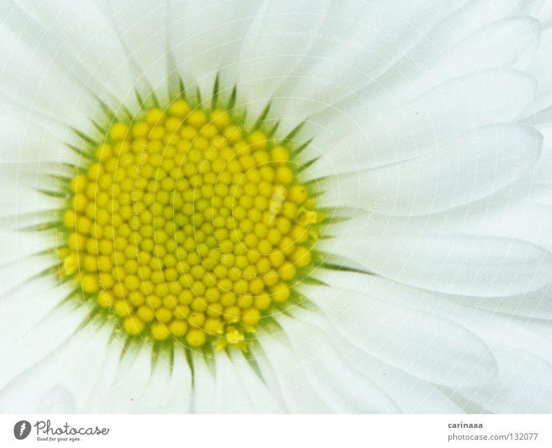 Beautiful White Flower Plant Summer Calm Blossom Spring Bright Harmonious Blossom leave Greeny-yellow
