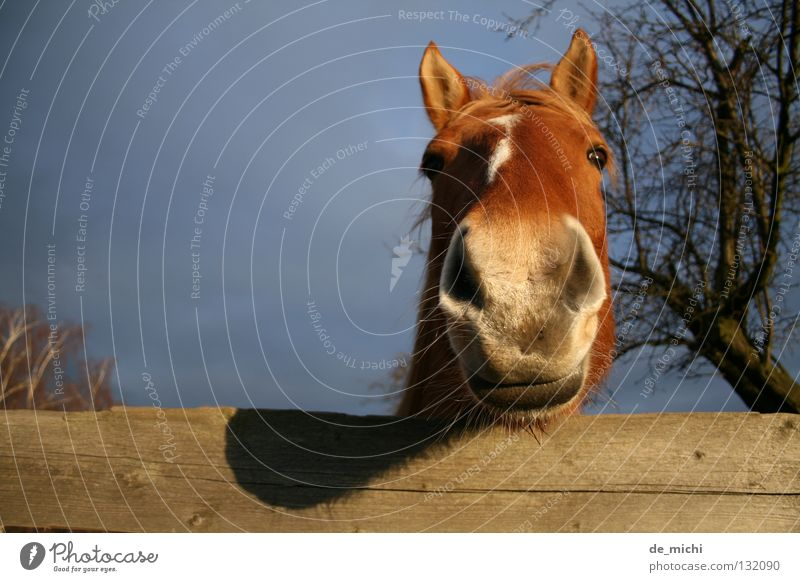 Tree Animal Brown Horse Curiosity Fence Mammal Snout