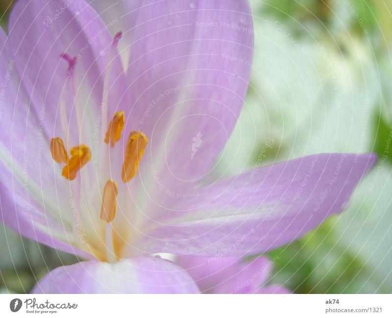 AutumnTimeLos Flower Blossom Pink Meadow saffron