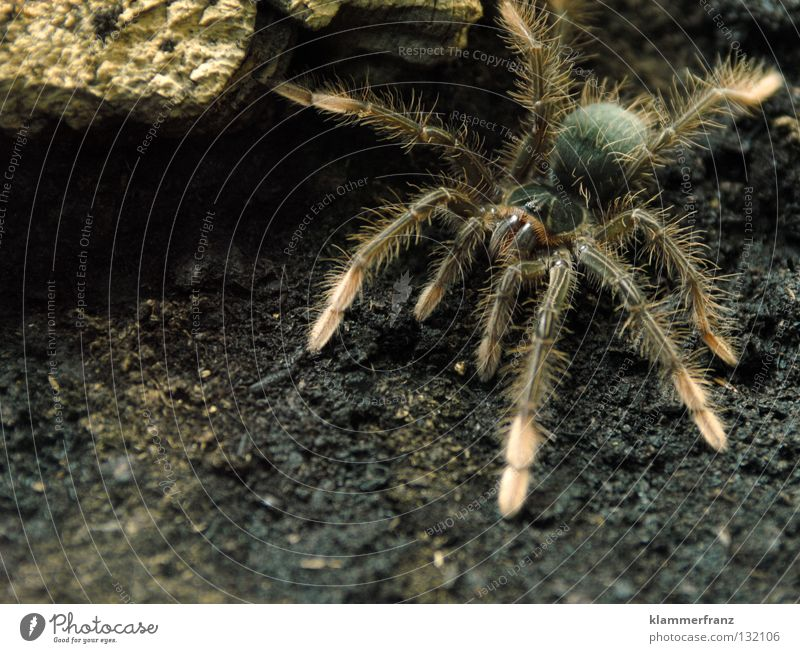 Emanuella's Freigang Terrarium Earth Spider legs Monster theraphosa Bird-eating spider giant bird-eating spider Close-up Full-length Crawl