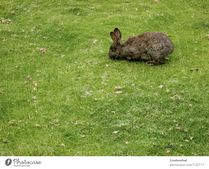 Green Animal Meadow Above Nutrition Delicious Ear Long Blade of grass Mammal To feed Hare & Rabbit & Bunny Right Hop Easter Bunny