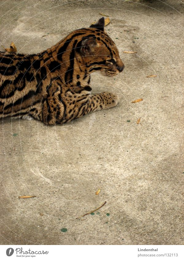 Cat Animal Calm Pelt Serene Mammal Section of image Partially visible Ocelot