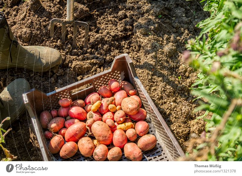 Nature Plant Summer Garden Work and employment Fruit Field Vegetable Harvest Garden plot Gardening Agricultural crop Potatoes