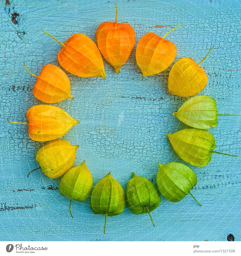 pantone® autumn Nature Autumn Chinese lantern flower Blue Multicoloured Yellow Green Orange Colour wheel Physalis Plant Autumnal colours Round Multiple