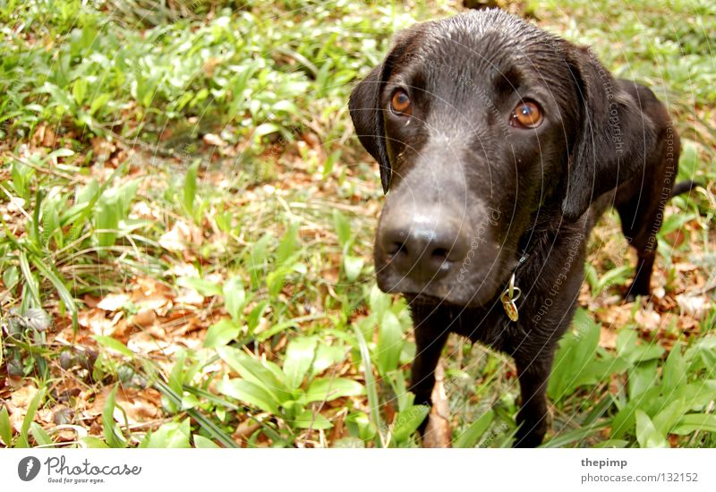 It wasn't me. Dog Black Leaf Green Brown Loyalty Brown eyes Lop ears Dog tag Puppydog eyes Mammal To go for a walk woof Eyes